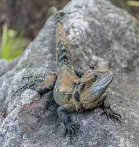 Eastern Water Dragon, Australia