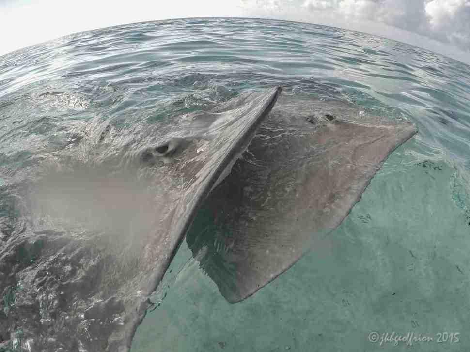 Rays, Bora Bora French Polynesia