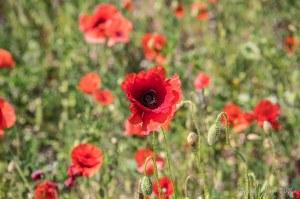Poppies by Jill K H Geoffrion
