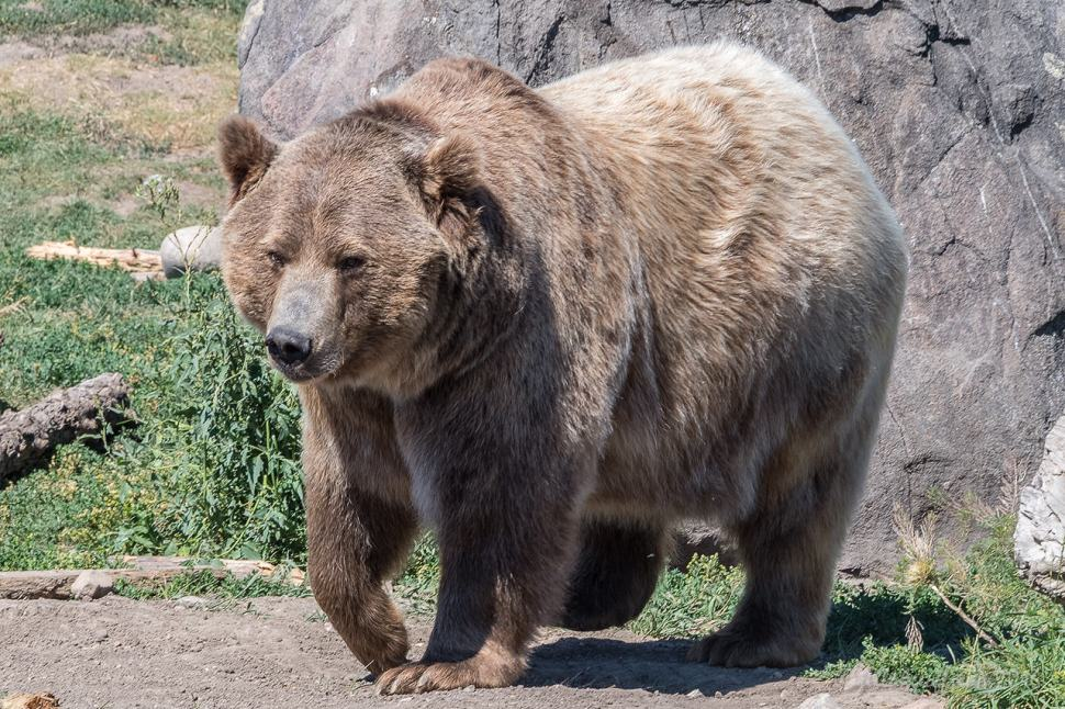 Grizzly Bear by Jill K H Geoffrion