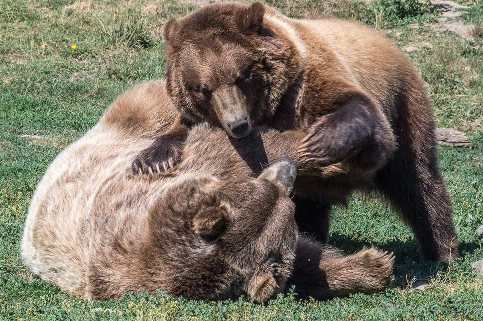 Grizzly Bears by Jill K H Geoffrion